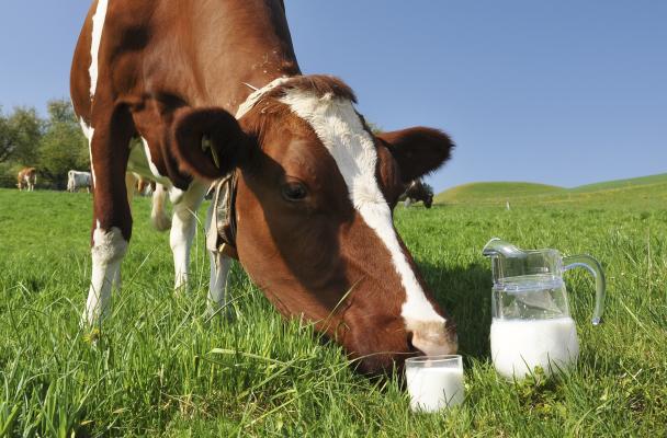 Корова с молоком