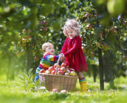 Child picking apples on a farm. Little boy and girl playing in apple tree orchard. Kids pick fruit in a basket. Baby eating healthy fruits at fall harvest. Outdoor fun for children.  Kid with a basket.