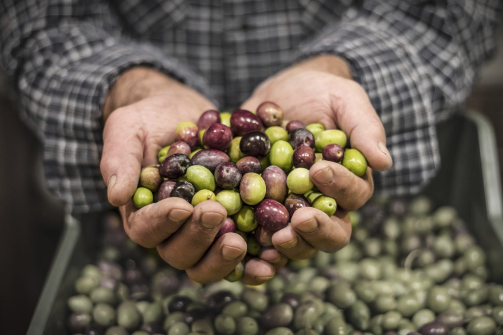 Close up of a man's hands holding a handful of freshly harvested olives